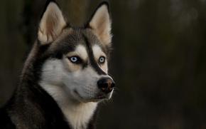 Картинка собака, взгляд, уши, глаза, хаски