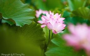 Картинка листья, цветы, розовый, лотос, Tommi Hsu