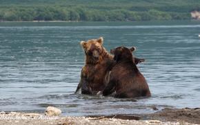 Картинка вода, река, Медведи, бурые, дерутся, хук, левой