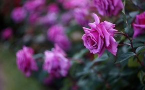 Обои розы, малиновые, цветы, лепестки, куст