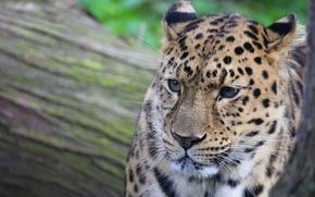 Обои усы, морда, пятна, леопард, leopard