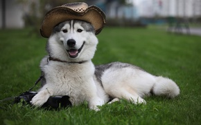 Обои шляпа, лежит, собака, фотоаппарат, лайка, пёс, охраняет, трава