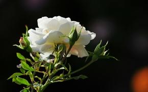 Обои цветок, фото, роза, утро