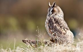 Картинка трава, сова, птица, пенек, профиль, болотная