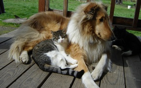 Картинка dogs, cats, Collie, buddies