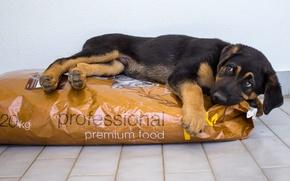 Картинка взгляд, друг, еда, собака, немецкая овчарка