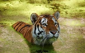 Картинка вода, тигр, пловец
