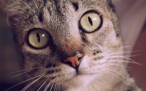 Обои глаза, кот, усы, взгляд