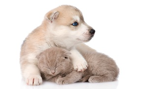 Картинка котенок, пушистый, спит, щенок, друзья, хаски, husky, scottish kitten