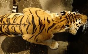 Обои тигр, спина, сверху
