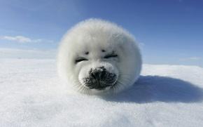 Обои животное, небо, тюлень, снег, лед