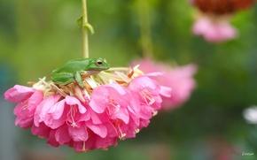 Обои цветы, макро, квакша, лягушка, соцветие, древесница