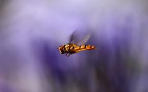 Картинка макро, полет, фон, сиреневый, крылья, размытость, Насекомое