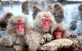 Картинка бассейн, шерсть, обезьяны, японский макак