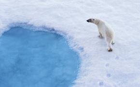 Обои хищник, белый медведь, снег, следы