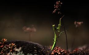 Картинка макро, зеленый, насекомое, ползет, богомол, трава, травинка