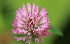 Обои цветок, розовый, клевер, макро