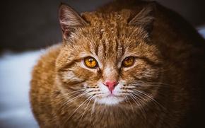 Картинка кошка, глаза, кот, усы, рыжий, Котик, коричневый, пушистик, карие