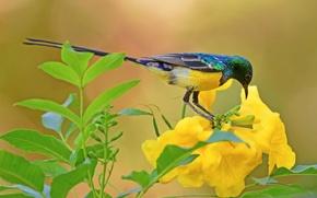 Обои Ошейниковая нектарница, птица, цветок, листья