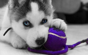 Картинка logo, toy, puppy, close-up, dog, animal, wolf, black and white, ball, violet, playing, gray, paws, …