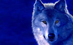 Обои волк, рисунок, синий