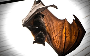 Обои природа, летучая мышь, batmans return