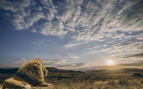 Обои небо, солнце, облака, спокойствие, хищник, лев, царь зверей, саванна