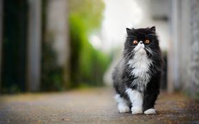 Картинка кот, пушистый, важный, персидская кошка