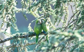 Картинка зелень, птицы, пара, попугаи