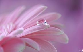 Обои гербера, капля, лепестки, цветок, розовый
