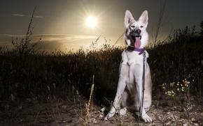 Картинка собака, Sunset, Siberian husky