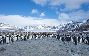 Картинка Southern Ocean, South Georgia, St. Andrews Bay, Few King Penguins