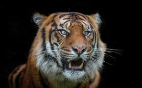Обои зверь, фон, тигр