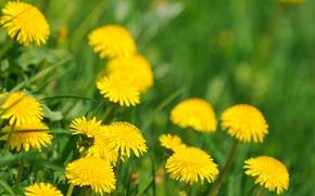 Картинка весна, одуванчики, цветущие