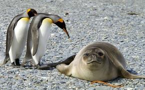Обои животные, снег, природа, пингвины, мороз, тюлень, птицы, Антарктида, лёд