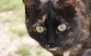 Обои кошка, усы, окрас, нос, глаза, лапы, кот