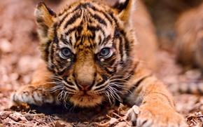 Обои морда, тигр, маленький, злая, на подкрадухах