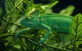 Картинка зелень, листья, ветки, хамелеон, ящерица