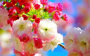 Картинка цветы, вишня, весна, сакура, розовые, flowers, Spring, sakura, cherry