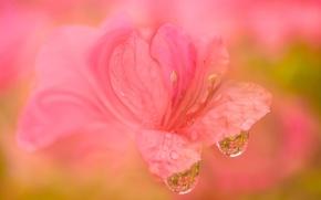 Обои рододендрон, макро, цветок, капли