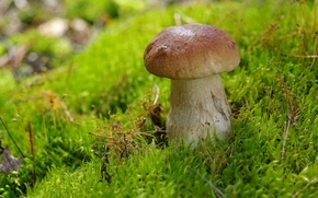 Картинка гриб, мох, боровик