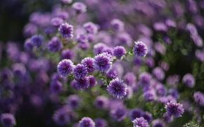Обои цветы, сиреневые, природа, макро