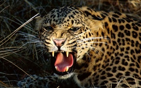Картинка Леопард, клыки, оскал