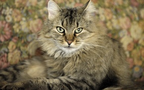 Обои кошка, кот, фон, widescreen, обои, wallpaper, широкоформатные, cat, background, взляд, полноэкранные, HD wallpapers, широкоэкранные, fullscreen, ...