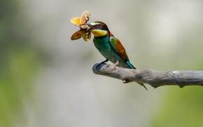 Картинка птица, бабочка, ветка, добыча, пчелоедка, золотистая щурка