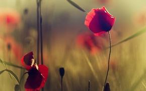Картинка трава, цветы, маки, красные, полевые