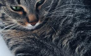 Картинка кошка, кот, кошки, портрет, кошак