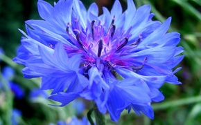 Обои зелень, цветок, синий, василек, васильки, bluet, cornflower, centaurea