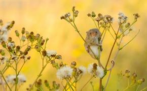 Картинка макро, мышка, Harvest Mouse, Мышь-малютка