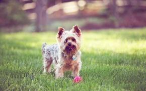 Картинка трава, мячик, dog, терьер